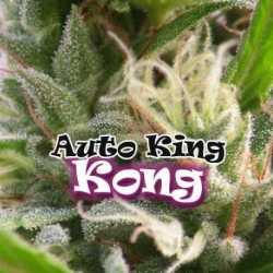 AUTO KING KONG (4)