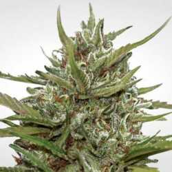 AUTO WHITE BERRY (3)