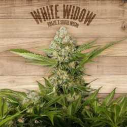 WHITE WIDOW (10)