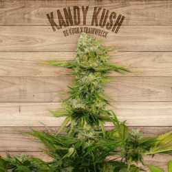 KANDY KUSH (10)