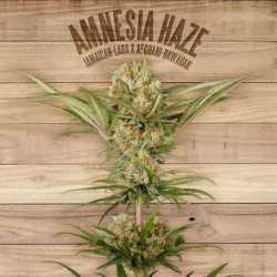 AMNESIA HAZE (5)