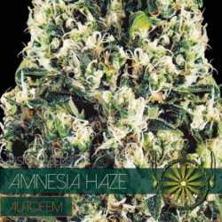 AMNESIA HAZE (3) AUTO