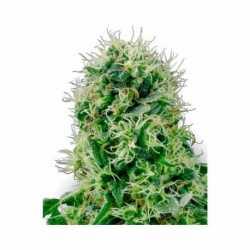 PURE POWER PLANT (10)