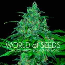 00 Kush 5 Fem. 00 Seeds
