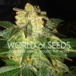 00 Cheese 5 Fem. 00 Seeds