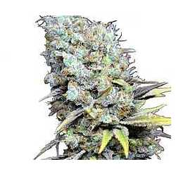 BIG BUD SUPER SKUNK CBD (1)